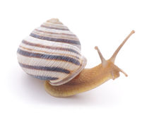 Striped snail. Stock Photography