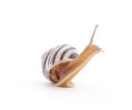 Striped snail. Stock Image
