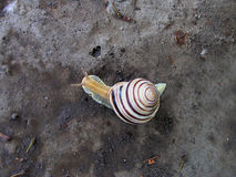 Striped snail moving on the stone. Top view Royalty Free Stock Photos