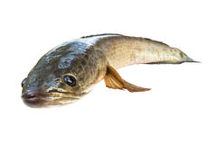 Striped snakehead fish  isolated on white with clipping path Stock Photo
