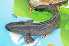 Striped snakehead fish on the mat Royalty Free Stock Photography