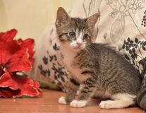 Striped socks with white kitten next to a red Christmas flower Stock Image