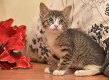 Striped socks with white kitten next to a red Christmas flower Stock Images