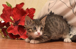 Striped socks with white kitten next to a red Christmas flower Royalty Free Stock Photography