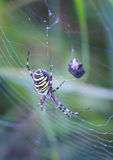 Striped spider Royalty Free Stock Photos
