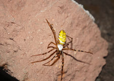 Striped spider crusader Stock Photo