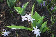 Striped Squill Puschkinia scilloides grown in the park. stock photos