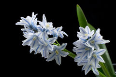 Striped squill, pushkinia Stock Image