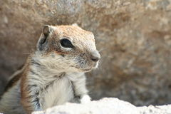 Striped squirrel. Close-up of striped squirrel behind rock Stock Photos