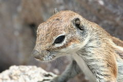 Striped squirrel. Close-up image of a curious striped squirrel Stock Photos