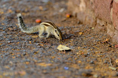 Striped squirrel on the ground Stock Photos