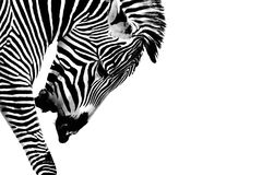 Striped Stallion. A Grévy's zebra (Equus grevyi) presented in high Key Black and White. Head is down and he is calling out royalty free stock photos
