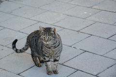 Striped Stray cat Royalty Free Stock Image