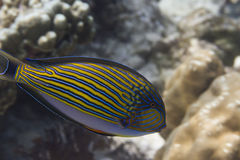 Striped surgeonfish (Acanthurus lineatus) Royalty Free Stock Images