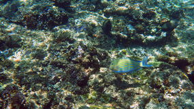 Striped surgeonfish swimming above coral Royalty Free Stock Photography