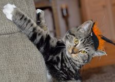Striped tabby cat wearing black and orange witches hat. This is my cat Axel and he loves Halloween. He even likes to wear this little witches hat. He loves all royalty free stock photography