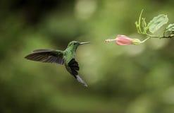 Striped-tailed Hummingbird Stock Photos