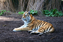 Striped terror. Tiger in a zoo, lying on the ground resting stock photography