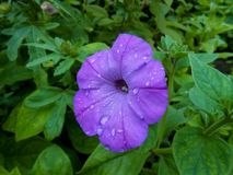 Striped terry violet large petunia in the garden royalty free stock images