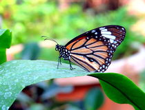Striped Tiger Butterfly Stock Photo