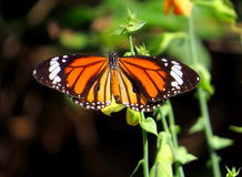 Striped Tiger Butterfly. Sitting on small plant in the garden stock images