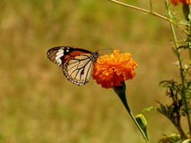 Striped Tiger Butterfly Royalty Free Stock Image