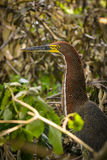 Striped tiger heron Stock Image