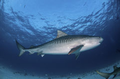 Striped Tiger shark Royalty Free Stock Photography