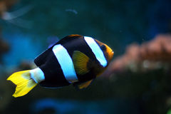 Striped tropical fish #2 Stock Photos