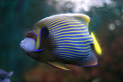 Striped tropical fish Royalty Free Stock Photo