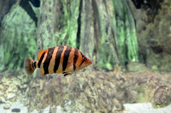 Striped tropical fish Royalty Free Stock Images