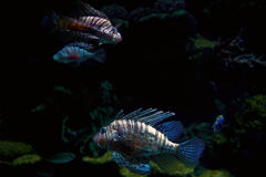 Striped tropical fish Royalty Free Stock Photography