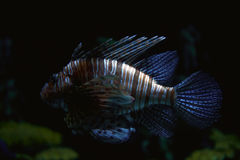 Striped tropical fish Stock Photos