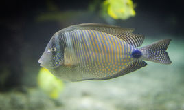 Striped tropical fish (Desjardini Tang) Royalty Free Stock Photography