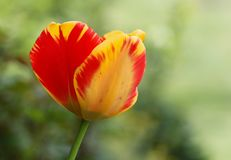 Striped tulip in the garden. Red and yellow striped tulipe flower. Closeup view Stock Images
