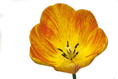 Striped tulip isolated. Yellow and orange striped tulip flower isolated against white background royalty free stock photos