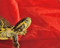 Striped Turtle. With bright red background Royalty Free Stock Photos