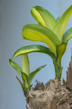 Striped two dracaena plant. Royalty Free Stock Photography