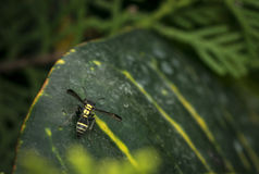 Striped wasp with extended wings on a green leaf Royalty Free Stock Photography