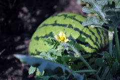 Striped watermelon growing on stem, small yellow flower close up, black earth background. Striped watermelon growing on stem, small yellow flower close up royalty free stock images
