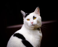 Striped White And Black Cat On Black Background. A white and black tom cat with piercing amber eyes and pink points shot against a black background with red royalty free stock photography