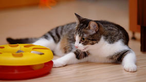 Striped with white the cat plays with a toy. Royalty Free Stock Photos