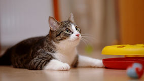 Striped with white the cat plays with a toy. Royalty Free Stock Image