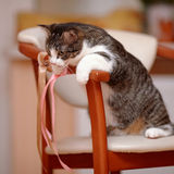 Striped with white the cat sits on a chair. Royalty Free Stock Photos