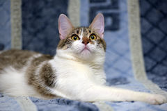 Striped with white European shorthair cat lying on a sofa on a b Royalty Free Stock Photos