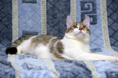 Striped with white European shorthair cat lying on a sofa on a b Stock Photography