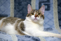 Striped with white European shorthair cat lying on a sofa on a b Stock Photos