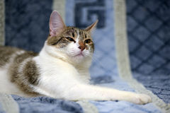 Striped with white European shorthair cat lying on a sofa on a b Stock Images