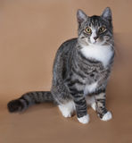 Striped with white kitten sitting on brown. Background Royalty Free Stock Photo