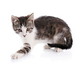 Striped with white a kitten. Stock Photography